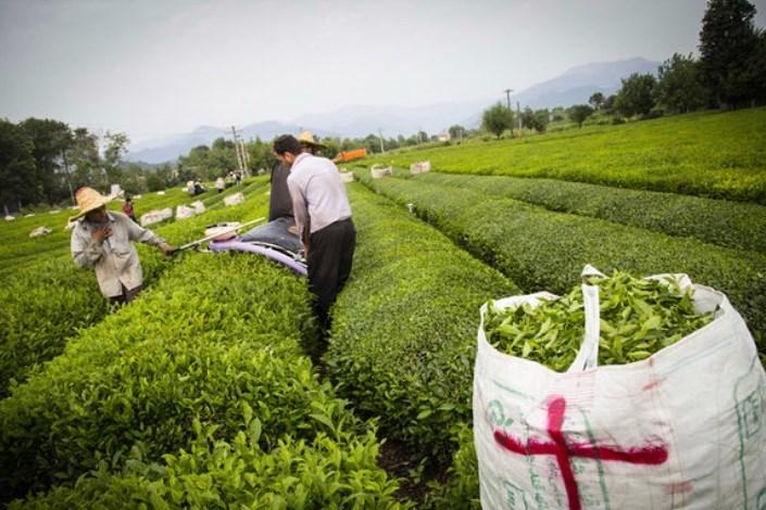 قیمت جدید برگ سبز چای دو هزار و 624 تومان تعیین شد