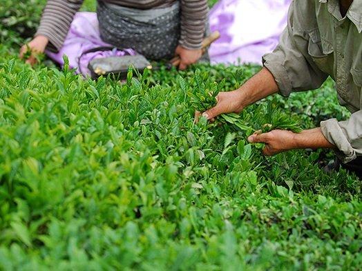 دومین بهای برگ سبز چای به چایکاران پرداخت شد