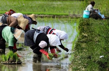 90درصد مزارع شهرستان رشت نشا شدند