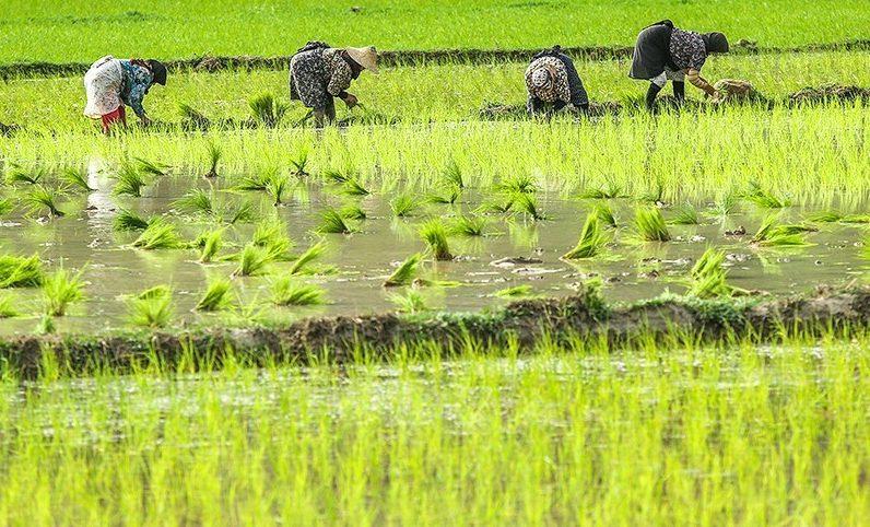شالیکاران از نشاء زود هنگام برنج پرهیز کنند