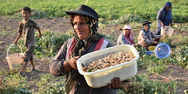 تولید ۱۱ هزار تن پیله بادامزمینی در آستانهاشرفیه