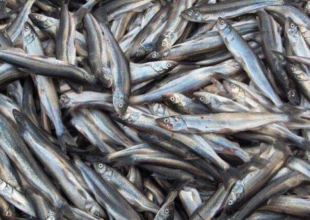 صید کیلکا در سواحل گیلان ۱۸ درصد افزایش یافت