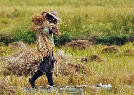 برداشت نیمی از محصول برنج گیلان